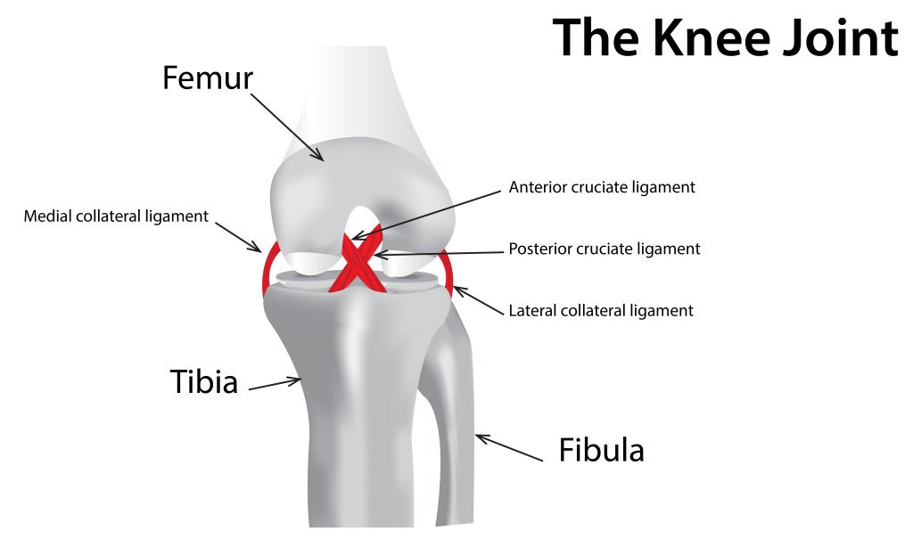 knee ligament